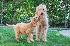 images puppy cut for a goldendoodle goldendoodle puppies pictures and facts dogtime