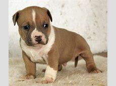 Elado amerikai staffordshire terrier kiskutyak   Eladó
