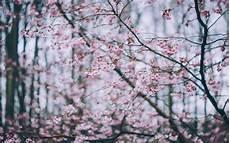 Flower Wallpaper Macbook Air by 1440x900 Cherry Blossom Pink Flowers