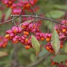 arbuste fruit plante toxique le fusain gamm vert