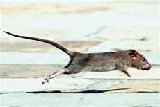 faire fuir les souris comment faire fuir les rats et les souris sans les tuer