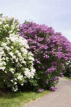 lilac tree 18 lilac varieties hgtv