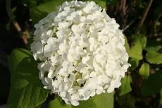 fiore a palla images gratuites fleur buisson botanique flore