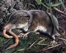 Was Essen Mäuse In Der Natur - was fressen spitzm 228 use spitzmaus
