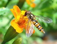 schwebfliegen wikiwand