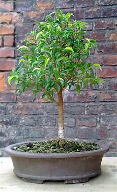 bonsai ficus benjamini gestaltung eines ficus benjamina pandora teil 2