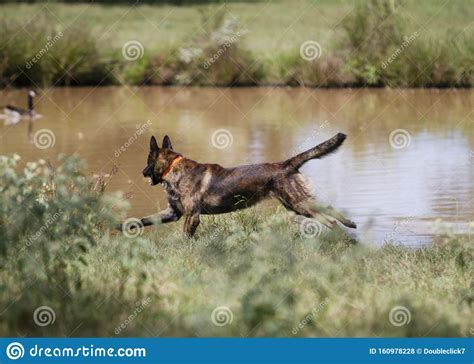 Dutch Dog In Action