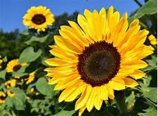 4 Tahap Mudah Menanam Bunga Matahari Dari Biji Pak Tani