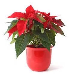 Weihnachtsstern Pflege So 252 Berlebt Sie Den Winter