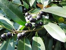 File Prunus Laurocerasus Frucht1 Jpg Wikimedia Commons