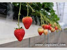 Chiba: Strawberry Picking Experience @ Dragon Farm ? My Story