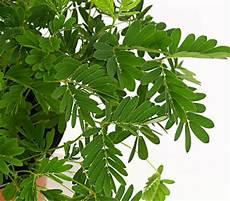mimose pflanze kaufen mimose sinnpflanze dehner garten center
