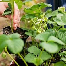 erdbeeren vermehren erdbeerpflanzen ableger balkon