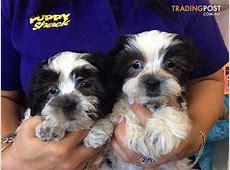 Lhasa Apso x Maltese puppies at Puppy Shack Brisbane