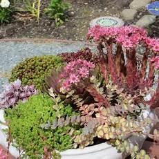 piante fiorite perenni margherite estive rosa e gialle perenni vivaio un