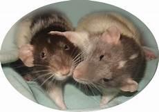 ratten bekaempfen und aus dem haus ratten integration neuen ratten