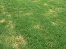 Gelbe Flecken Und Trockene Stellen Im Rasen Warum Wird