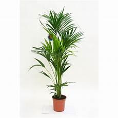 kentia forsteriana plantes vertes autres marques maison