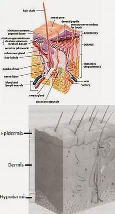 Anatomi Kulit Struktur Kulit Manusia Sehat