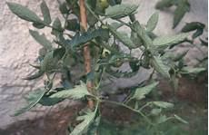 pflanze blätter rollen sich ein tomaten krankheiten sch 228 dlinge und physiologische
