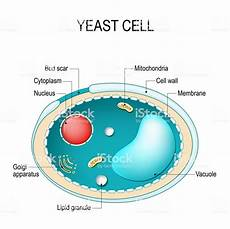 diagram of fungus cross section of a yeast cell structure of fungus cell stock illustration image now