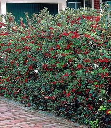 pflanzen für hecke ilex hecke quot heckenfee 174 quot 5 pflanzen pflanzen f 252 r den