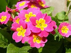 fiore flowers flower 2 primrose