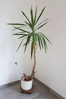 Yucca Palme Vermehren Aus Eins Mach Drei So Einfach
