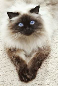 himalayan cats march 2014 meow barkers