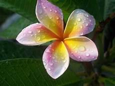 fiore frangipane frangipane fiore piante da giardino frangipane fiore
