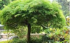arbre pour petit jardin arbre conseils de plantation la terre est un jardin