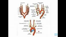 appareil cardio embryologie de l appareil cardio vasculaire partie 7