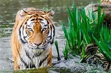 Siapa Sebenarnya Raja Hutan Itu Gajah Harimau Atau