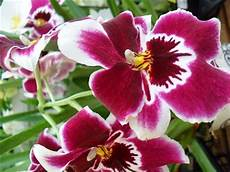 Contoh Report Text Tentang Bunga Anggrek Orchid