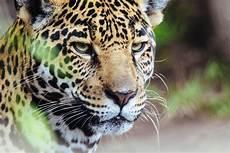La Importancia Jaguar En El M 233 Xico Prehisp 225 Nico