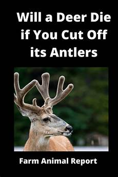 will a deer die if you cut off its antlers breeding