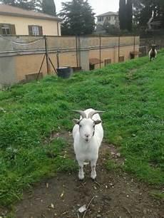 vendo animali da cortile vendesi capre tibetane lazio annunci animali