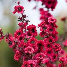fiore con s new zealand tea tree seeds leptospermum scoparium flower