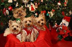 all i want for christmas is a yorkie christmas puppies pictures christmas puppy biewer yorkie