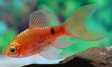 31 Jenis Ikan Hias Air Tawar Paling Digemari Dan Cara