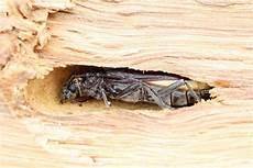 traitement capricorne prix capricorne insecte prix du traitement de charpente