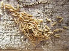 insettini bianchi in casa file isoptera termiti foto 1 jpg wikimedia commons