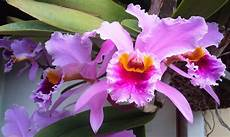 dibujos de la flor nacional de venezuela 191 cu 225 l es la flor nacional de venezuela 187 respuestas tips