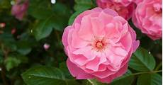 tips for pruning a rose bush the woodsman
