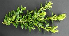 buchsbaum selber vermehren buche baum buchsbaum und