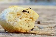 hilft backpulver gegen ameisen was hilft gegen ameisen der informant