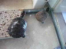 tortue eau douce aquarium aquarium sale tortue d eau douce forum