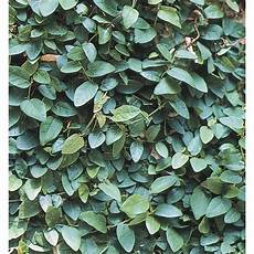 shop 9 pack creeping fig l10844 at lowes com