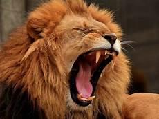 Koleksi Gambar Singa Sang Raja Hutan Yang Gagah Kembang Pete