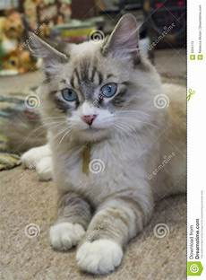 ragdoll mix ragdoll mix kitten stock image image of gorgeous